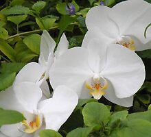 Phalaneopsis Aphrodite Orchid by Rosalie Scanlon