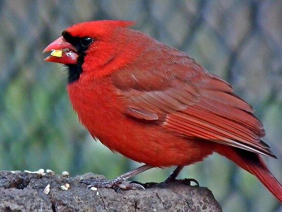 Hungry Cardinal by BonnieToll