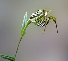Jug Orchid, Pterostylis recurva by Julia Harwood