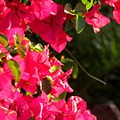 Bouganvillea in the last sun rays by Nicki Baker