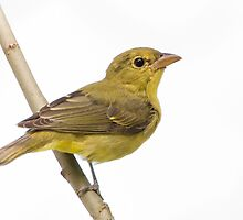 fall tanager by jamesmcdonald