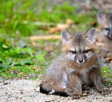 Sleepy Gray Fox Pups by amyasewell