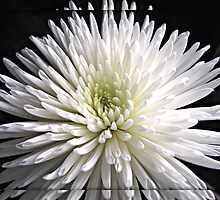 Explosion of White  by kathrynsgallery