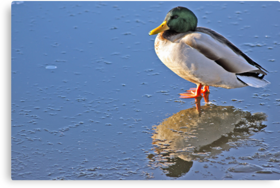 Mallard Duck Reflects by David Alexander Elder