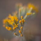 Rabbit Brush by Steve Mills