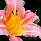 Pink Daylily by Anita  Pollak