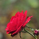a rose a life by deville
