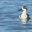 Juvenile Red-necked phalarope II by Jeannine St-Amour