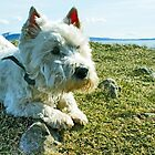 West Highland Terrier by David Alexander Elder