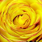 Tequila Sunrise Rose by cdfeag65202