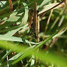 grass hopper by jeromy wheeler