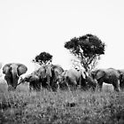 Elephant herd by Max Franceschini
