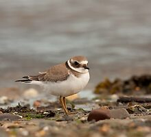 Ringed Plover by Jon Lees