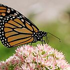The Beauty Of A Monarch II by cdfeag65202