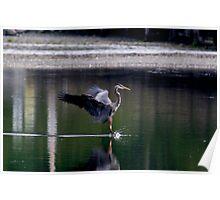 Landing Great Blue Heron Poster