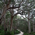 Stunted Karri Trees South-west Oz by Leonie Mac Lean