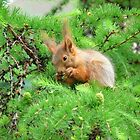 The squirrel on larch by mski