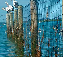 Pelicans at Redland Bay-photograph by missmilly