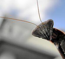 """Chinese Praying Mantis Tenodera sinensis says """"Hello"""" by Linda Gleisser"""