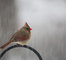 Cardinals First Snow  by Karol Livote