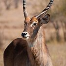 Waterbuck at the N&#x27;wanetsi River Road, Kruger National Park, South Africa by Erik Schlogl
