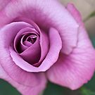 Purple Rose by Alison Cornford-Matheson