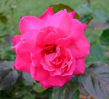 Very Pink Rose by rhulth