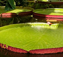 Giant Water Lilies  by Vac1