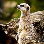 Meerkat by adamshortall