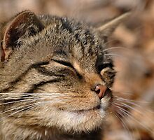 The Highland Tiger (Scottish Wildcat) by Dorothy Thomson