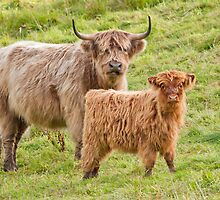 Highland Cows by M.S. Photography & Art