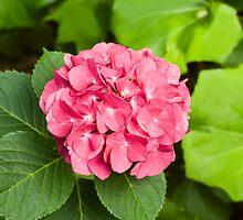 Pink Hydrangea Blossom by Kenneth Keifer