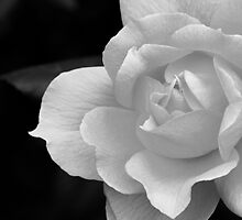 The Exquisiteness Of A Rose  by cdfeag65202