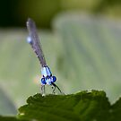 Damselfly Looks Your Way by Kenneth Keifer