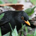 Blackbird by Denzil