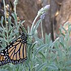 Monarch by Jessica Fittock