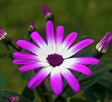 Purple and White Daisy by David Alexander Elder
