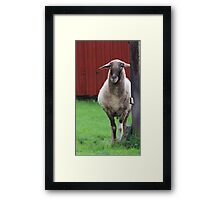 My father was a cameroon sheep Framed Print