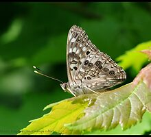 Hackberry Emperor... by pieceoflace