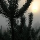 Sunrise from mist and pines by Antanas