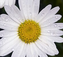 Wet Shasta Daisy by Kenneth Keifer