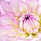 Pink Dahlia by Anita  Pollak