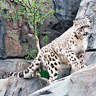 Leopard Walking - NYC - 4-11 by denisespictures