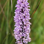 Dactylorhiza maculata by kalaryder