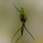 Bird Ochid, Pterostylis barbata by Julia Harwood