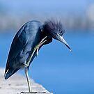 Little blue heron by Arto Hakola