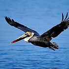 Brown pelican, pelecanus occidentalis by Arto Hakola