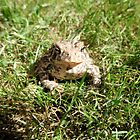 Toad in the Grass by Barberelli
