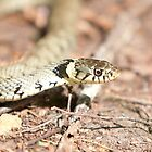 Grass snake by david marshall