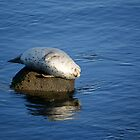 Happy Harbor Seal by Lynn Starner
